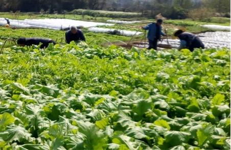 雪菜的种植时间和方法及定植后管理介绍
